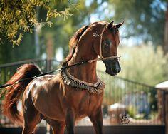 Arabhorse.com - Arabian Horse