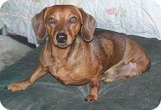 Mtn Grove, MO - Dachshund. Meet Hero a Dog for Adoption.