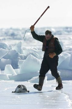 Despite strong opposition and a vanishing market, commercial seal slaughter begins in Canada