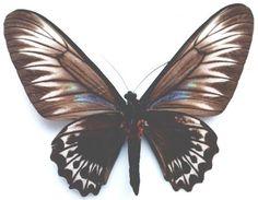 Palawan Birdwing or Triangle Birdwing, female (ventral view) from Palawan. Butterfly Species, Palawan, Weird And Wonderful, Dragonflies, Butterflies, Triangle, Brooch, Female, Amazing