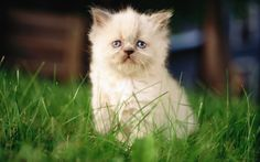 HD Sweet Kitty : Adorable Fluffy Baby Kittens Widescreen Wallpapers  1920*1200   Wallpaper 27