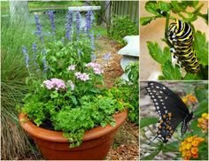 Black Swallowtails can find everything they need in this planter, with parsley for laying eggs and salvia and pentas for nectar! Get more all-in-one combinations on the Birds & Blooms Blog.
