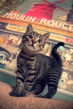 Moulin Rouge kitty ♥♛ ♛~✿Ophelia Ryan ✿~♛ Mais