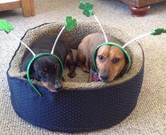 Happy St. Patrick's Day from my doxies, Morgan & Molly