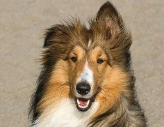 I love shelties! My favorite breed of dog. Best Small Dog Breeds, Best Small Dogs, Pet Dogs, Dogs And Puppies, Dog Cat, Pets, Shetland Sheepdog Puppies, Cute Creatures, Sheltie