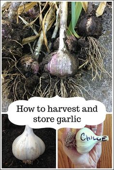 How to harvest garlic and safely store it for months to come Slugs In Garden, Garden Pests, Garden Tools, Garden Ideas, Garden Insects, Gardening Zones, Container Gardening, Gardening Tips, Organic Gardening
