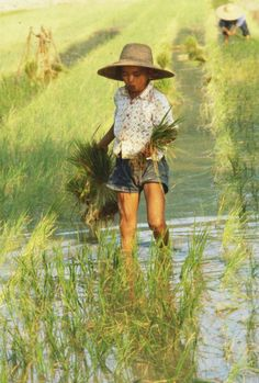 Chinese rice farmer
