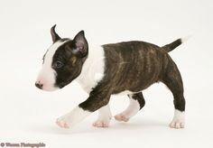 27198-English-Bull-Terrier-pup-white-background.jpg 1.371×956 pixel