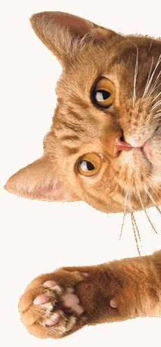 Cat Fact: Female cats tend to be right pawed, while male cats are more often left pawed. Interestingly, while 90% of humans are right handed, the remaining 10% of lefties also tend to be male.