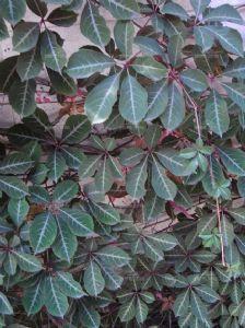 Virginia creeper Parthenocissus Henryana