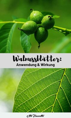 Walnut leaves - application & effect- Walnussblätter – Anwendung & Wirkung Why you should definitely use walnut leaves ✅ The correct application of the effective leaves ✅ These effects have walnut leaves when used correctly ✅ - Garden Care, Health And Nutrition, Health Fitness, Diy Garden Bed, Garden Ideas, Teeth Bleaching, Medicinal Herbs, Dental Health, Beautiful Gardens