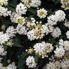 45 Lantana Evita White Live Plants Plugs Home Garden Patio Planters 253 Lantana Plant, Perennial Flowering Plants, Perennials, Lantana Camara, Full Sun Plants, Cottage Garden Plants, Garden Urns, White Plants, Covered Garden