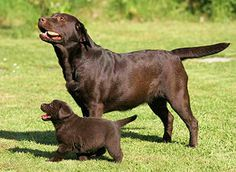 chocolate labs... would u look @ that pudgy little choc. pup... tooo sweet. look @ those tails. Love :)