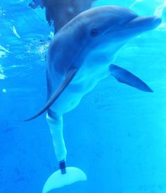 I love the movie dolphin tale one and dolphin tale 2 I also love winter and I would love to visit her at clear water marine aquarium 😄 The Ocean, Ocean Life, Orcas, Dolphin Tale 2, Clearwater Marine Aquarium, Clearwater Florida, Bottlenose Dolphin, Fantastic Beasts And Where, Poses For Pictures