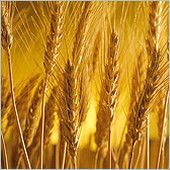 The Feast of Shavuot/Pentecost Feasts Of The Lord, Malt Beer, Herbalife Distributor, Bible Images, Jesus Is Coming, Herbalife Nutrition, Grains, About Me Blog, Canning