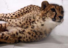 Cheetahs, Life, Cheetah