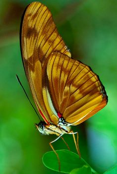 Beautiful Golden Butterfly