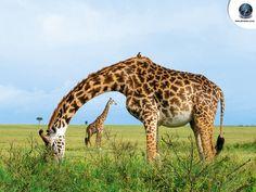 Giraffe-arch-Wallpaper