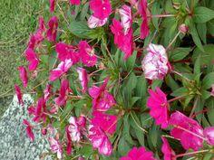 Pink wildflowers.
