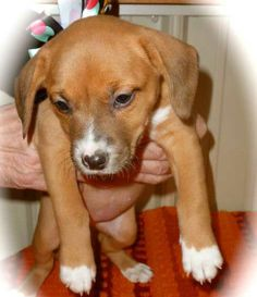 Marli was born on 12/8/13 to a Beagle mix mom. She is a colorful puppy with beautiful markings. She has a red sable coat with four white paws and white on her face and belly. She is a middle of the pack puppy, willing to follow her siblings and...