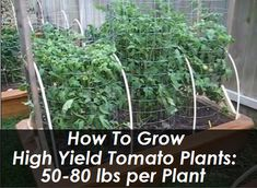 High Yield Tomato Plants