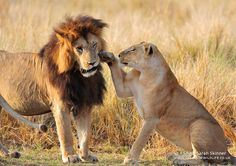 Notch gets a slap from Mugoro female for forgetting her on Valentines day in the Masai Mara, Kenya by Sarah Skinner. Big Cats, Cute Cats, Lion Kingdom, Animals And Pets, Cute Animals, Lion Couple, Lion King Pictures, Lion Family, Lion And Lioness