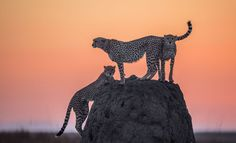 Cheetahs usually like to stand on higher ground in order to look for food. There were 4 cheetahs not 3 during this sunrise. The fourth could not climb the rock no space was available.