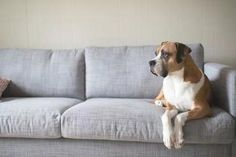 Photographic Print: Boxer Mix Dog Laying on Gray Sofa at Home Looking in Window by Anna Hoychuk : 24x16in Pet Urine, Pet Odors, Urine Odor, Teach Dog Tricks, Dog Commands, Dog Nails, Boxer Mix, Stay In Bed, Therapy Dogs
