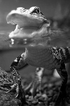 Do we keep alligators as pets? Do we keep alligators as pets? Do we keep alligators as pets? Nature Animals, Baby Animals, Cute Animals, Reptiles Et Amphibiens, Mammals, Beautiful Creatures, Animals Beautiful, Regard Animal, Alligators