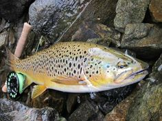Beautiful Brown Trout from Scotland