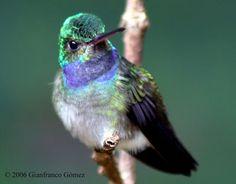 Charming hummingbird - Google Search