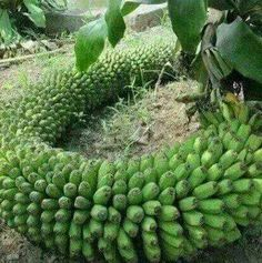 There are banana varieties that can withstand temperature drops and grows well in pots or containers, popular especially among the fans of exotic tropical plants. Banana Fruit, Banana Plants, Fruit Plants, Fruit Garden, Edible Garden, Fruit Trees, Vegetable Garden, How To Grow Bananas, Weird Fruit