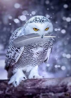 Snowy Owl are beautiful