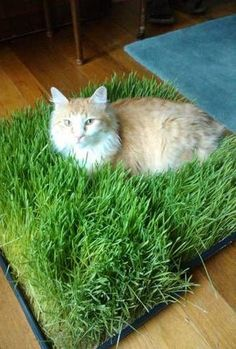 Cat grass box // Cute for indoor cats who dream of going outside. At least the grass is greener inside.