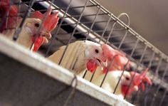 A cage-free future isn't that far off given recent pledges by nearly 200 U.S. grocery and food companies.