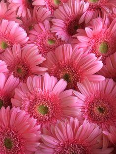 Pink Elegance gerberas Beautiful Flowers Pictures, Beautiful Flowers Wallpapers, Amazing Flowers, Pretty Flowers, Pink Flowers, Daisy Wallpaper, Cute Wallpaper Backgrounds, Flower Backgrounds, Flower Images