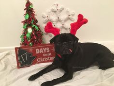 Christmas Countdown 17 Days till Christmas - 17 more days of embarrassing pug photos