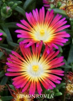 Wheels of Wonder® Hot Pink Wonder Ice Plant - Super-sized, vibrant colored blooms to enjoy all summer and into fall. Succulent foliage spreads to form a dense mat, making a tough, drought tolerant groundcover or rock garden accent. Thrives in container plantings, spilling gently over the edges. Non-invasive. Evergreen.