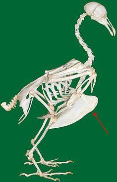 skeleton_bird_vogelskelett_sternum_wiki.jpg (319×500)