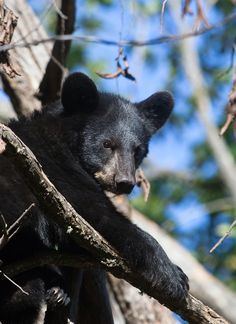 Beautiful black bear in the Great Smoky Mountains.