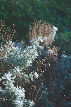Early morning frost in the garden <3 Ochtend vorst in de vroege morgen. Winter Garden Tuin #Fonteyn