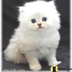 Full grown micro teacup Persian cat. I will own one of these within 6 months :)