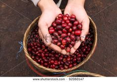 Close up red berries coffee beans on agriculturist hand basket background