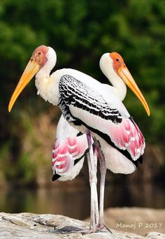 Painted Storks (Mycteria leucocephala) is a large wader in the stork family. It is found in the wetlands of the plains of tropical Asia south of the Himalayas in the Indian Subcontinent and extending into Southeast Asia. Kinds Of Birds, All Birds, Love Birds, Angry Birds, Nature Animals, Animals And Pets, Cute Animals, Most Beautiful Birds, Pretty Birds