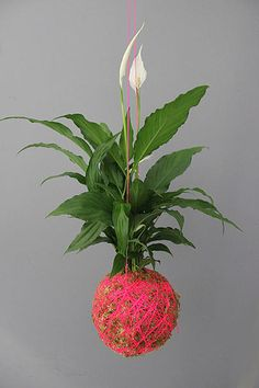 Mister Moss | Hanging plants Peace Lily $53AUD