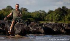 Buffels in Marajo Island - A Ilha do Marajo possui o maior rebanho de bufalos do brasil, cerca de 600 mil cabecas.