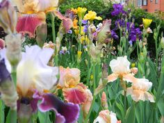 if i have to have landscaping, i WILL have an iris garden
