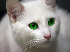 White Cats With Green Eyes