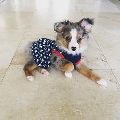 Toy Australian Shepherd 10 weeks old on Memorial Day! Found on Instagram/GracieTinyToyAussie #toyaussie #toy #aussie #australianshepherd #toyaustralianshepherd #puppy