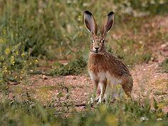 liebre Animal Kingdom, Mammals, Rabbit, Hunting, Flora, Google, Nature, Rodents, Savages